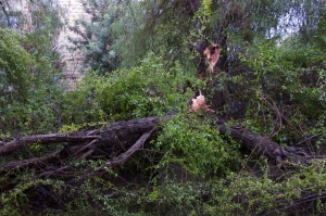 Two sides of the pepper tree downed by wind. ©2013 Michael Dickel