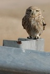 Athena Owl along the Alon Road, Occupied Territories / West Bank, Israel