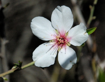 Almond flower in Jerusalem, photo ©2007 Michael Dickel