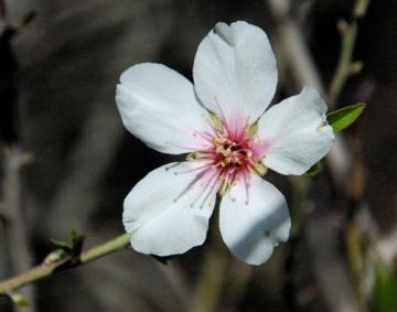 Almond flower in Jerusalem, photo ©2007 Michael Dickel