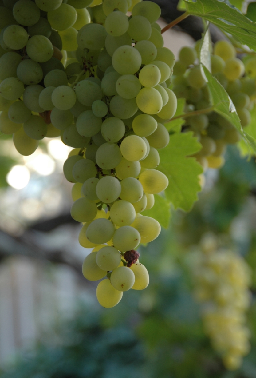 Raisin sweet amid the ripening grapes.