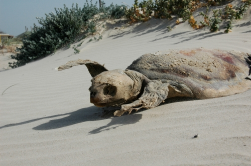 …while the unfortunate sea turtle dried out on the hot sand.