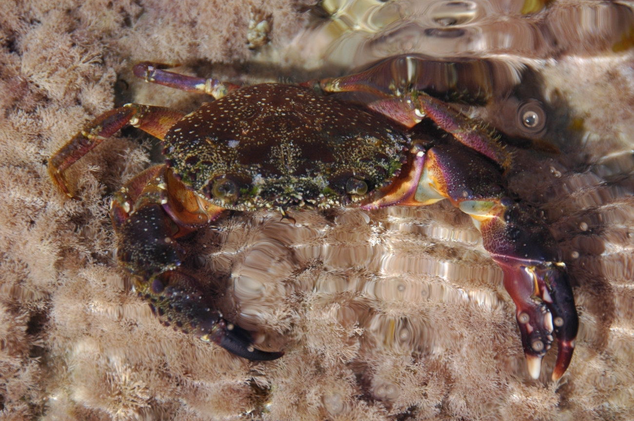 Clear-water repose of the rainbow-jointed crab…