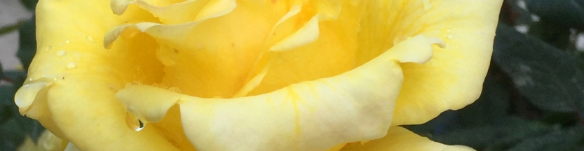 Rosy Morn yellow rose image for poetry—a poem by Michael Dickel online hybrid writing: essay-poetry