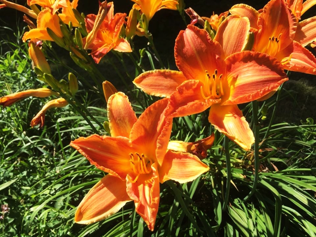Day Lilies photograph @2018 Jerry Ingeman used by permission